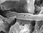 Detail of reticulated filament with irregular chambers by M. Spilde, L. Melim, S. Herpin, and J.M. Queen