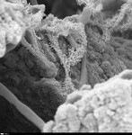 Detail on smooth and hairy filaments. by George Braybrook, Leslie Melim, and Brian Jones
