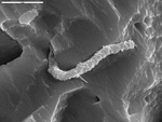 Detail on smooth filament, about 0.5 micron in diameter by M. Spilde