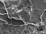 Overview of epoxy-filled cracks, biofilm, and filaments in center of pool finger
