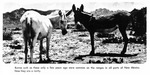 Caption: Burros such as these only a few years ago were common on the ranges in all parts of New Mexico. Now they are a rarity.